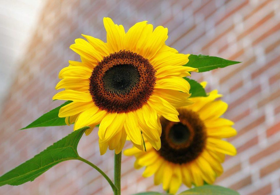 Spread the love - Sunflowers