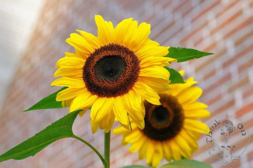 Spread the love - Sunflowers