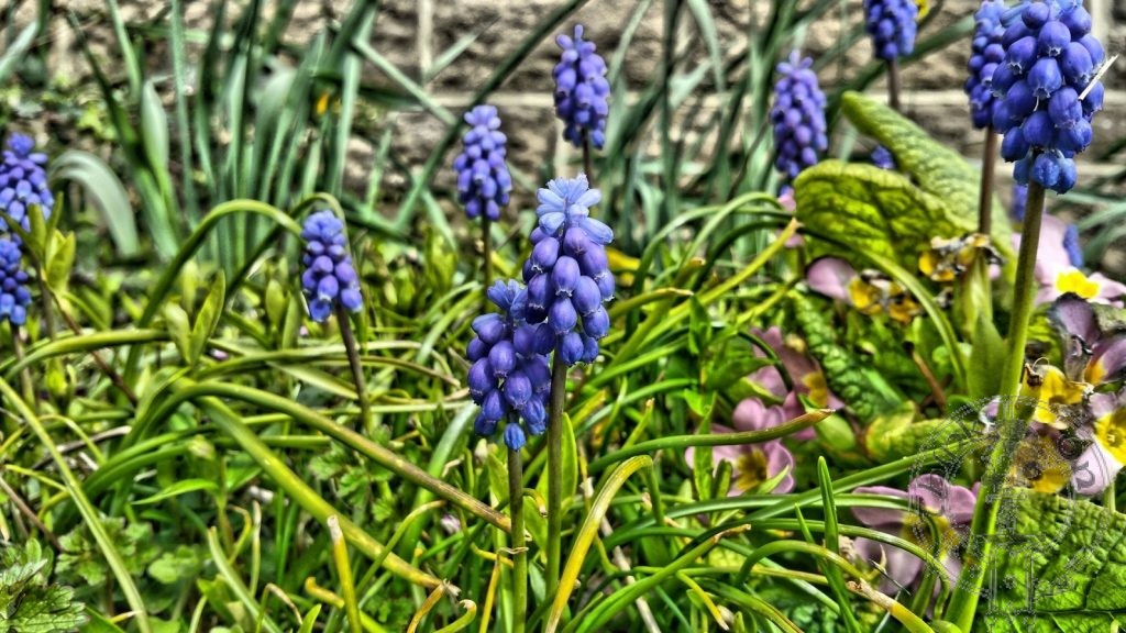 Spring - Grape Hyacinth