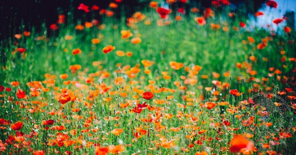 Poppies - By Dylan Nolte on Unsplash. Lest we forget